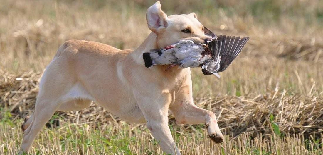 Mekoro Labradors